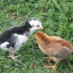 spring-chickens2