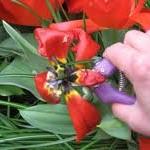 Deadhead tulips