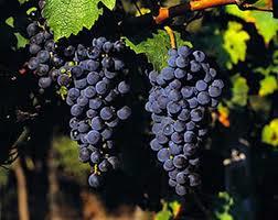 cabernet s grapes