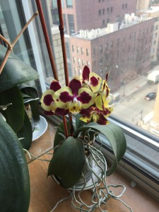 orchid in bloom feb 2017 turned